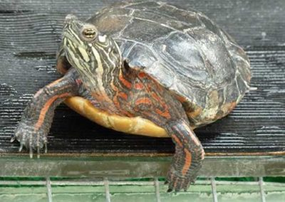 tortue_5